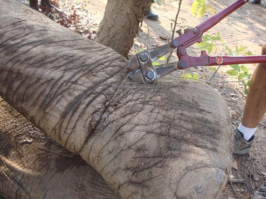 Removing snare from Bigboy the elephant