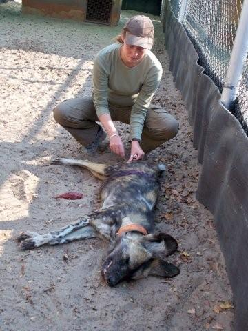wild dog treated for wound