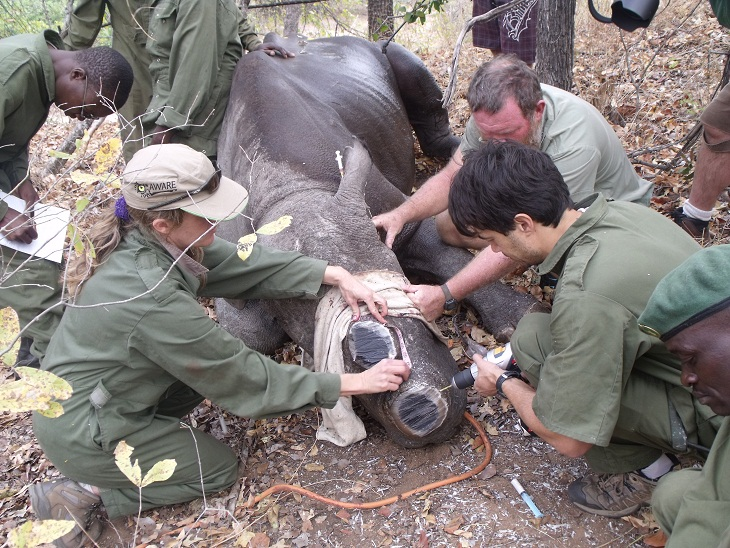 Implanting a microchip in a dehorned rhino