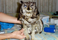 picture of Owlie shortly after his acciedent